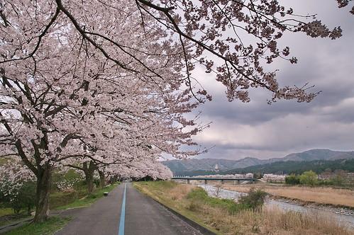 【写真】桜 : 道の駅くつき新本陣