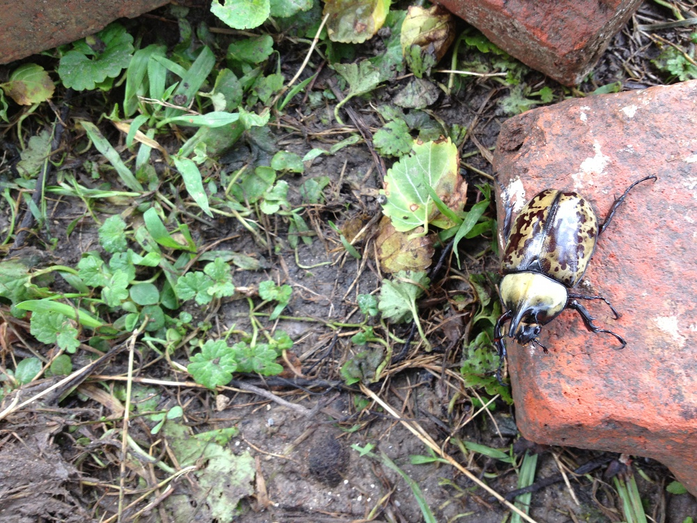 Rhino beetle interrupting excavations