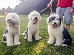 polish tatra sheepdog(0.0), pumi(0.0), south russian ovcharka(0.0), glen of imaal terrier(0.0), slovak cuvac(0.0), bouvier des flandres(0.0), catalan sheepdog(0.0), dandie dinmont terrier(0.0), irish soft-coated wheaten terrier(0.0), bolognese(0.0), english shepherd(0.0), miniature poodle(1.0), dog breed(1.0), animal(1.0), dog(1.0), schnoodle(1.0), romanian mioritic shepherd dog(1.0), pet(1.0), lagotto romagnolo(1.0), coton de tulear(1.0), lã¶wchen(1.0), polish lowland sheepdog(1.0), tibetan terrier(1.0), poodle crossbreed(1.0), komondor(1.0), havanese(1.0), old english sheepdog(1.0), sapsali(1.0), cã£o da serra de aires(1.0), bearded collie(1.0), goldendoodle(1.0), carnivoran(1.0),