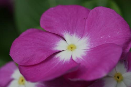 Catharanthus roseus Canon EOS 70D