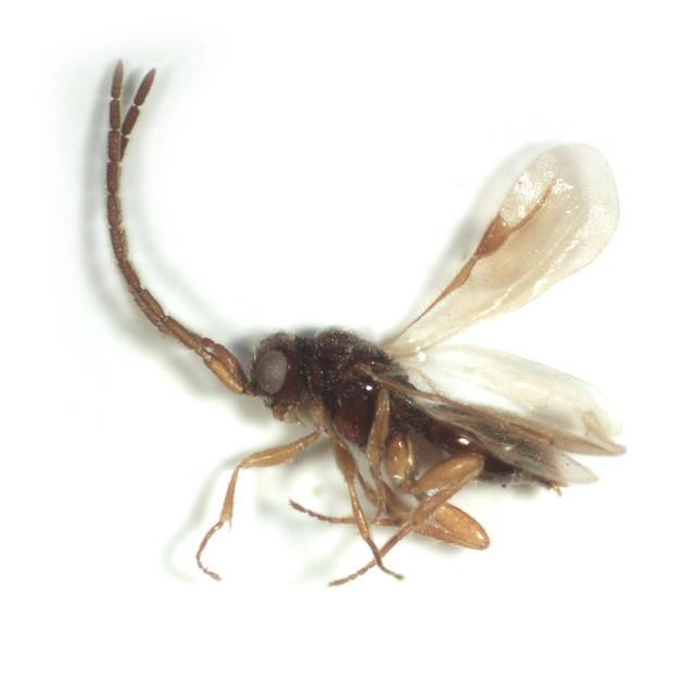Header of Megaspilidae
