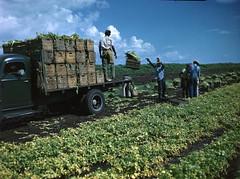Burquest and Stockbridge Company employees loading celery crates onto trucks near Sarasota, Florida
