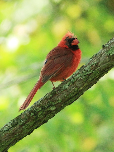 Northern Cardinal male molting 20130815