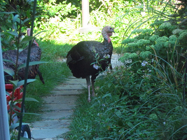 Turkeys and woodchuck3 8:17:13