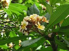 Plumeria rubra, Apocynaceae
