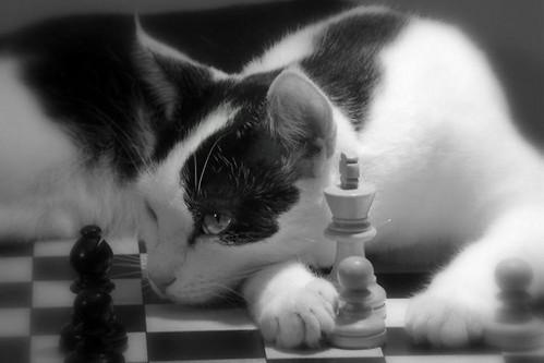 chess cat.jpg_1024