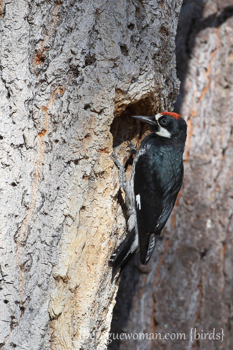 081813_bird_acornWoodpecker02