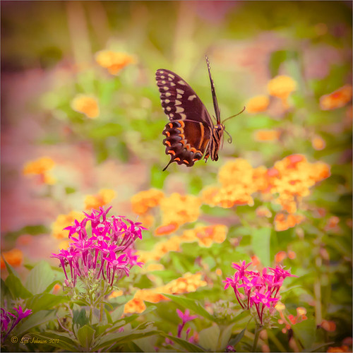 Image of Palamedes Swallowtail Butterfly flying over pink penta flowers