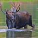 glacier moose 1220