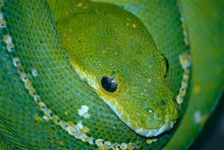 Green Tree Python (Morelia viridis) close-up