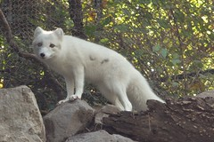 arctic fox, animal, mammal, fauna,