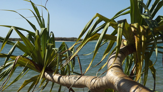 Pandanus at Cotton Tree
