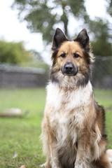 german shepherd dog(0.0), rough collie(0.0), wolfdog(0.0), saarloos wolfdog(0.0), dog breed(1.0), animal(1.0), dog(1.0), eurasier(1.0), pet(1.0), greenland dog(1.0), tervuren(1.0), shiloh shepherd dog(1.0), carnivoran(1.0), icelandic sheepdog(1.0),