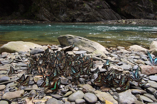 蝶類的大群聚,一直是台灣蝴蝶相當重要的特色,也因為有得天獨厚的環境,自然能孕育如此數量多的蝴蝶。