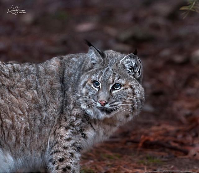 Bobcat HDR - Lakota Wolf Preserve