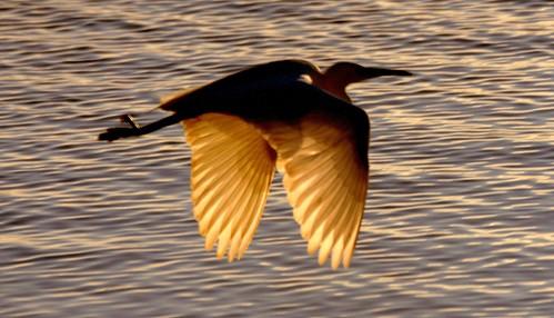 uk winter light sunset sea sun water phoenix silhouette backlight wings feathers dorset firebird backlit february outline egret poole stevemaskell 2013 holesbay naturethroughthelens