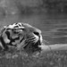 Tiger I by DannyFord