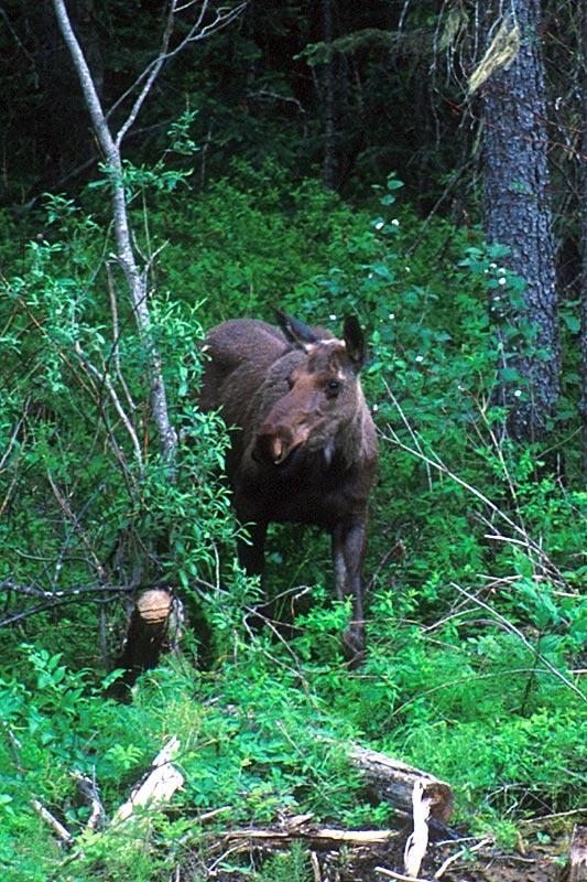 Moose near Mackenzie, Alaska Highway 97, Northern British Columbia, Canada