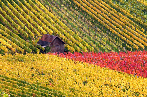 Little House in the Autumn Vineyard