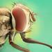 Stable Fly  الذباب الراضعة للدم by مشعل الريحان MISHAL ALRYHAN