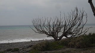 目前已枯死的夫妻樹