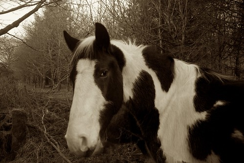 Horse in the Wood at Laragh near Kilquiggan