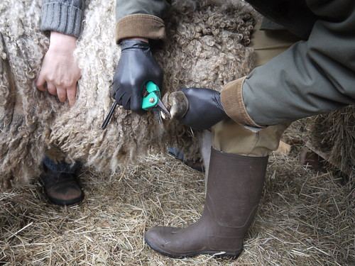 Sheep hoof trimming