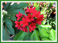 Jatropha integerrima (Spicy Jatropha, Peregrina) with scarlet-red blooms in our garden, Feb. 23 2014