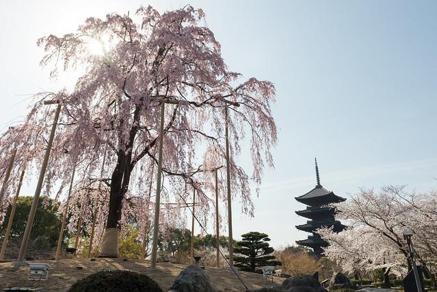 東寺 五重塔と桜