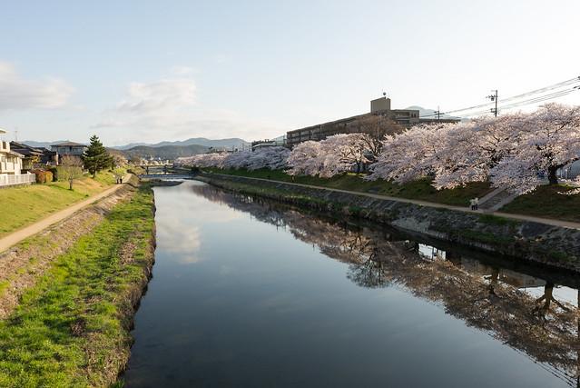 春の高野川/Takano river in spring