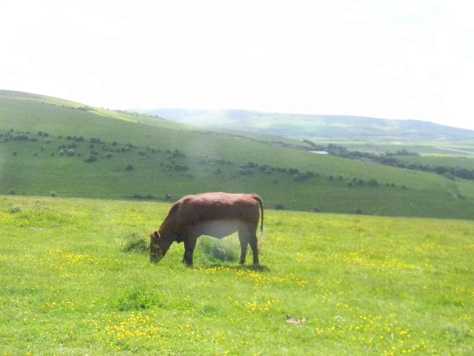 Cow on the downs ... ....in buttercups. Lewes Circular via West Firle