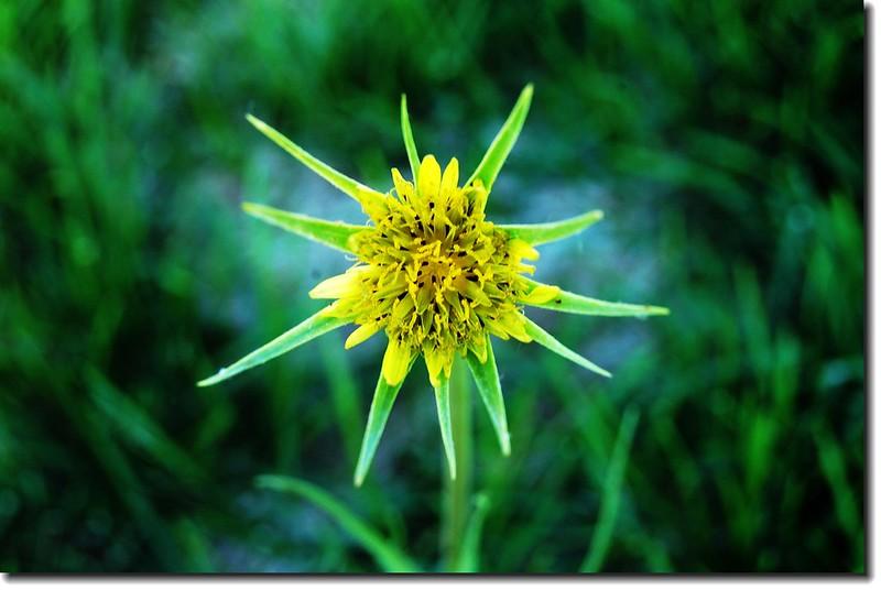 Yellow Salsify(yellow goatsbeard) 1