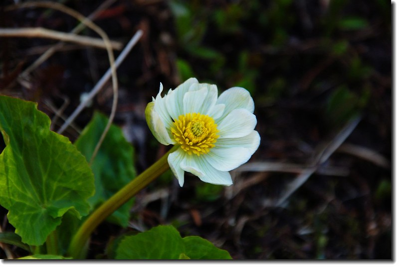 White Marsh Marigold 1