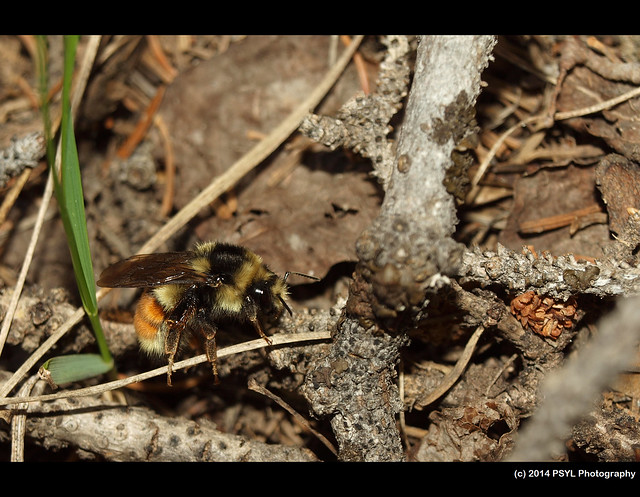 Two form bumble bee (Bombus bifarius)