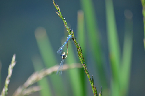 summer nature colorado bokeh wildlife insects mating damselfly adamscounty damselflies odonata odes intandem nikond3100 grandviewponds maleandfemaledamsels