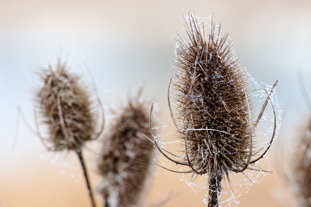 Dew-covered spider webs adorn common teasel