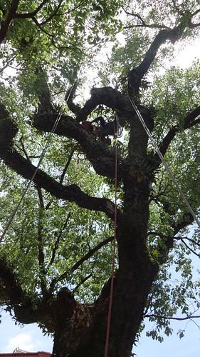 攀樹達人以人工進行修枝。攝影:彭瑞祥。