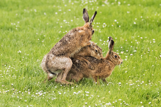 Brown Hares, Canon EOS 7D MARK II, Sigma 150-600mm f/5-6.3 DG OS HSM | S