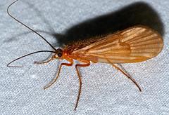 Caddisfly (Halesus sp.)
