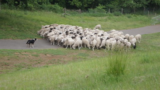 sheep driving