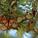 Monarch Butterflies Preparing for Winter Port Waikato New Zealand by eriagn