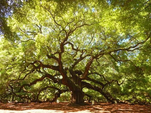 tree geotagged geocaching gimp geocache oaktree geotag charlestonsc hss charlestonsouthcarolina angeloak johnsisland angeloakpark werehere 10millionphotos 365travelmemories sliderssunday hereios 100daysofsummer2013