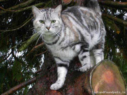 Fri, Jun 7th, 2013 Lost Female Cat - Bartramstown, Garristown, Dublin