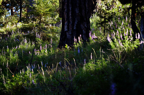 Alpine Lupine in the Ochoco Mountains