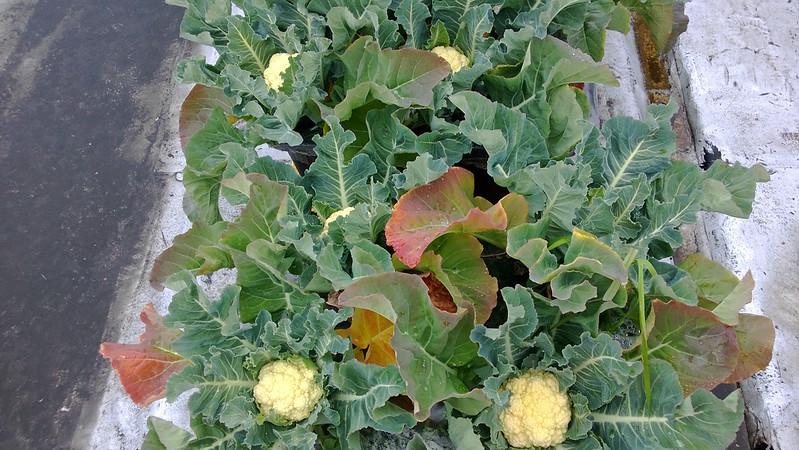 Cauliflower Harvest WP_20130607_006