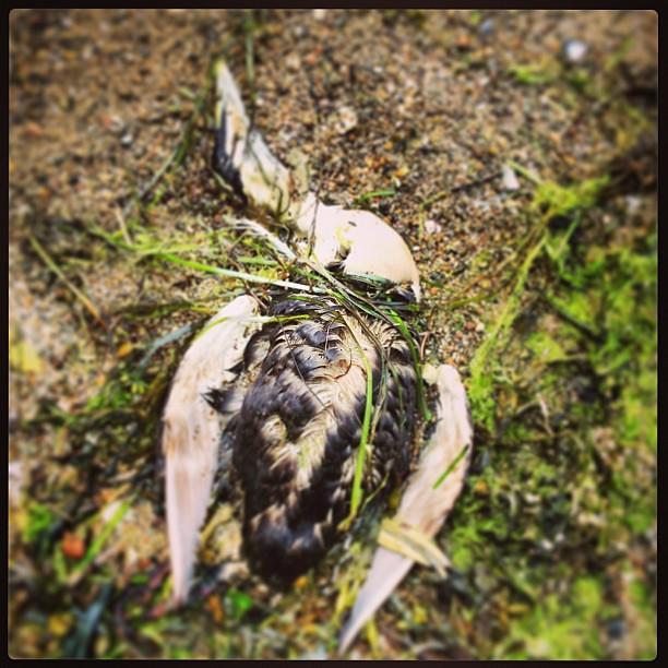 Död fågel på strand.