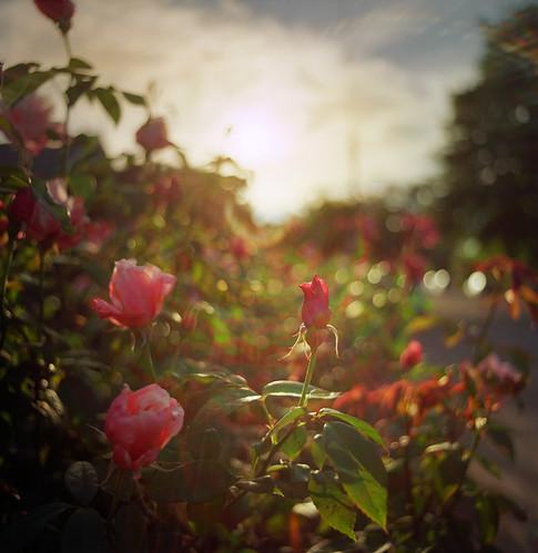 city flowers sunset urban 120 6x6 film floral rose oregon analog square portland bokeh neighborhood domestic flare pacificnorthwest pdx pentaconsixtl intothelight zeissflektogon