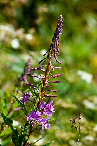Rosebay willowherb starting to flower