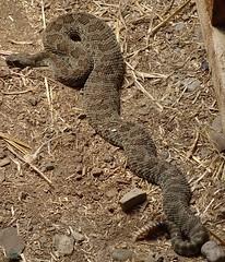 Serra desert snake in 1588