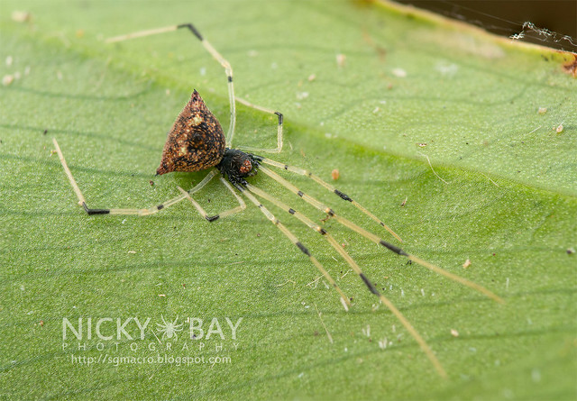 Comb-Footed Spider (Theridiidae) - DSC_0706